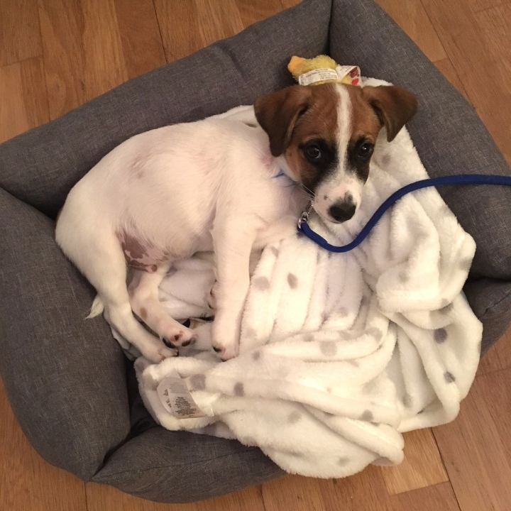 jack russell puppy in his new bed